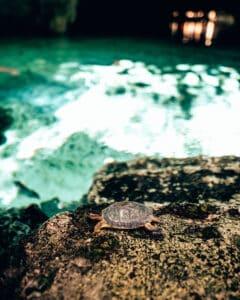 Turtle at Gran Cenote