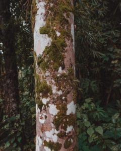 tree with white bark and moss